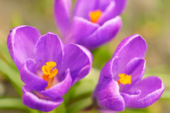 Beautiful violet crocus Royalty Free Stock Image