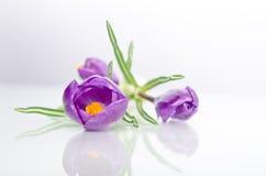 Beautiful violet crocus Royalty Free Stock Image