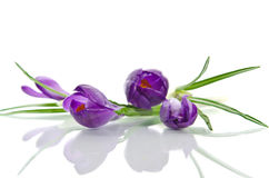 Beautiful violet crocus Stock Photos