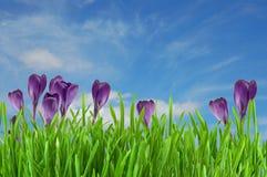 Beautiful violet crocus Stock Photography