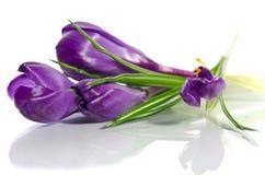 Beautiful violet crocus Stock Photo