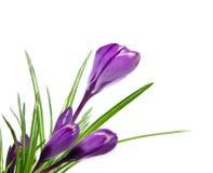 Beautiful violet crocus Royalty Free Stock Photos
