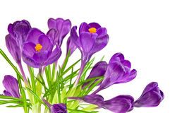 Beautiful violet crocus Royalty Free Stock Images