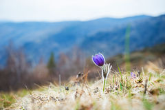 Beautiful violet crocus in the grass on the mountain Stock Photos