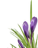 Beautiful violet crocus Royalty Free Stock Photography
