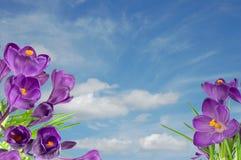 Beautiful violet crocus under blue sky Stock Images