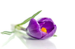 Beautiful violet crocus Stock Images