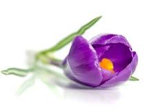 Beautiful violet crocus Royalty Free Stock Images