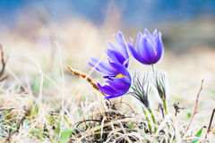 Beautiful violet crocuses, first spring flowers. Royalty Free Stock Images