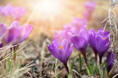 Beautiful violet crocuses flower growing on the dry grass, the first sign of spring. Seasonal easter sunny natural background.  Stock Images