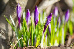 Beautiful violet crocuses flowers. In a springtime Stock Images