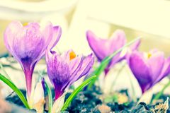 Beautiful violet crocuses in the garden, macro shot. With petals and roots Stock Photography