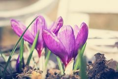 Beautiful violet crocuses in the garden on a sunny day. Close up Royalty Free Stock Photography