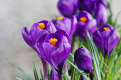 Beautiful violet crocuses on grey background Stock Photos