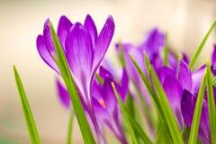 Beautiful violet crocuses Stock Image