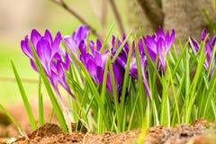 Beautiful violet crocuses Stock Photos