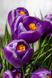 Beautiful violet crocuses Stock Photo