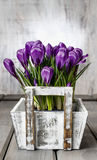 Beautiful violet crocuses in white wooden box Royalty Free Stock Photos