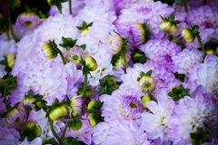 Beautiful violet dahlias flowers close up background Stock Photos