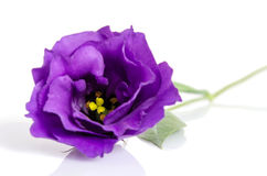 Beautiful violet eustoma flower Stock Image