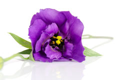 Beautiful violet eustoma flower Royalty Free Stock Photos