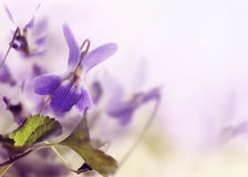 Violet. Beautiful violet in the field closeup Royalty Free Stock Photography