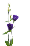 Beautiful violet flower Stock Photos