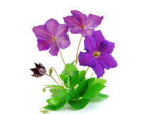Beautiful violet flower Royalty Free Stock Images