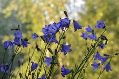 Beautiful violet flower of bellflowers on blurred background of sunlit trees. Balcony greening stock photography