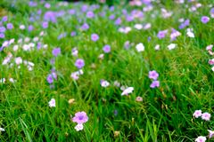 Beautiful violet flower blur background with copy space stock photos