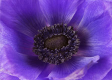 Beautiful violet flower closeup Stock Image
