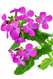 Beautiful violet flower.Closeup on white background. Isolated . Stock Image