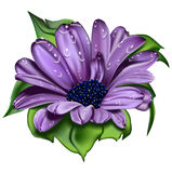 Beautiful  violet  flower. Drop   dew  insulated   object  leaves  green  vector Stock Images