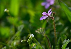 Beautiful violet flower among a green grass in a spring day. Flowering stock photo