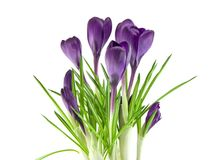 Beautiful violet flower isolated on white Stock Photo