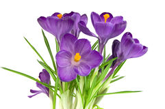 Beautiful violet flower isolated on white Stock Photos