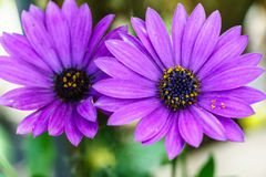 Beautiful violet flower, Macro shot royalty free stock photography