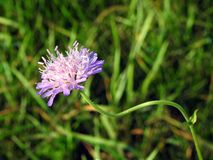 Violet wild flower in field, Lithuania Royalty Free Stock Photo
