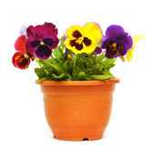 Beautiful violet flower in pot royalty free stock photos