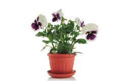 Beautiful violet flower in pot isolated on white background Royalty Free Stock Images