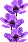 Beautiful violet flowers Royalty Free Stock Image