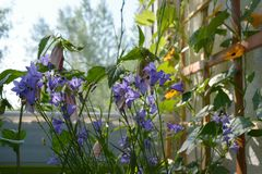 Beautiful violet flowers of bellflowers and orange thunbergia in small garden on the balcony. Home greening with flowering plants in summer stock photo