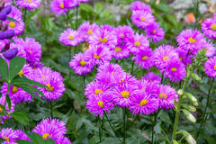Beautiful, violet flowers blooming in the garden Stock Image