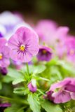 Beautiful violet flowers Stock Photo