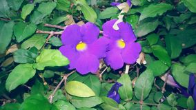 BEAUTIFUL VIOLET FLOWERS. Royalty Free Stock Photos