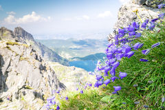 Beautiful violet flowers in the mountains Royalty Free Stock Photography