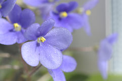 Beautiful violet flowers Stock Image