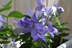 Beautiful violet flowers of Platycodon grandiflorus growing in container in small garden on the balcony. Blooming plant. On background of wooden wall royalty free stock photo