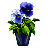 Beautiful violet flowers in pot isolated. Watercolor painting on white background Stock Photo
