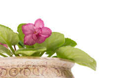 Beautiful violet flowers in pot. Royalty Free Stock Photos